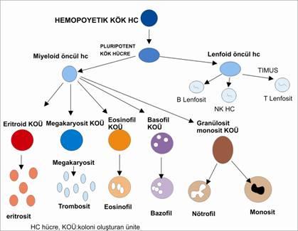 monosit yüksekliği nötrofil düşüklüğü